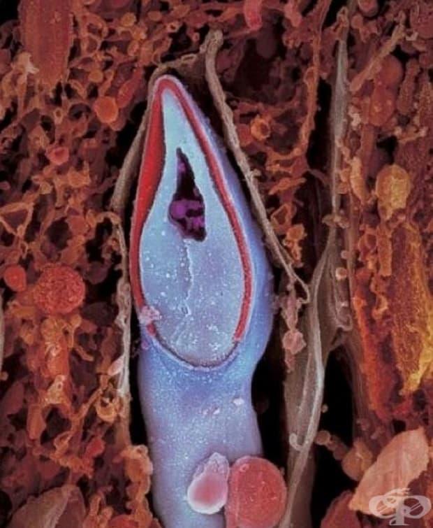 Гледната точка на сперматозоида. В главичката му се съдържа целият генетичен материал.