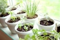 Лечебни растения, които може да отглеждате у дома