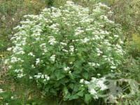 Агератина алтисима, Бял змийски корен