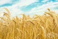 Пшеница, Обикновена пшеница, Зимна пшеница, Обикновена зимна пшеница, Зимна обикновена пшеница, Мека пшеница, Хлебна пшеница, Кутрулица