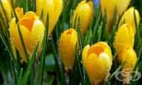 Жълт минзухар, Пролетен минзухар, Качутка