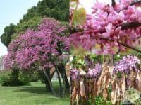 Див рожков, дърво на Юда, Церцис