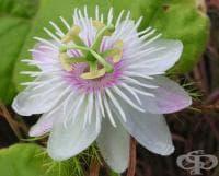 Пасифлора, Страстно цвете, Маракуя, Мъченица, Часовник