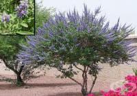 Аврамово дърво, Витекс агнус кастус