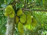 Джакфрут, Индийско хлебно дърво
