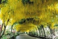 Златен дъжд, Лабурнум, Лабурнум анагироидес