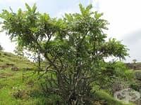 Босвелия, Тамяново дърво, Индийски тамян