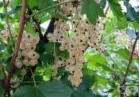 Бяло френско грозде, Касис