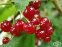 Червено френско грозде, Касис