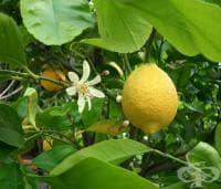 Седра, Сладък лимон от Корсика
