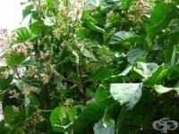 Хининово дърво