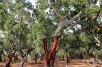 Канелено дърво, Канела