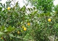 Ксимения, Морски лимон