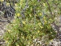 Ларея тризъба, Креозотов храст, Чапарал