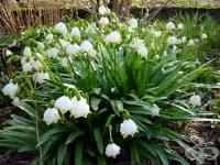 Пролетно блатно кокиче