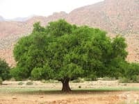 Арганово дърво