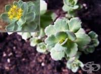 Златен корен, Розов златовръх, Розова родиола, Златовръх, Тибетски женшен