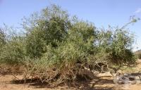Синапено дърво, Дърво горчица, Храст горчица