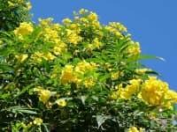 Жълта текома, Текома станс