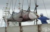 177 кита са убити в Япония в името на науката