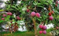 Всекидневното консумиране на манго облекчава хроничния запек