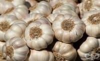 Чесънът предотвратява развиването на доброкачествена хиперплазия на простатата