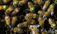Антибиотиците вредят на пчелите, от които зависи баланса в природата