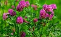 Екстракт от червена детелина помага за преодоляване на симптомите на менопаузата