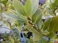 Дафиновият лист стимулира храносмилането, облекчава синузита и лекува кашлицата
