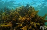 Кафявите водорасли възпрепятстват развитието на артроза