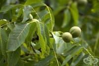 Листа от орех подобряват храносмилането и заздравяват косата