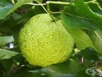Див портокал помага при болки в ставите