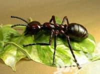 Нашествие на мравки застрашава човешкото здраве и екологията