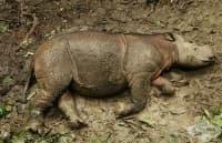 Почина един от последните три суматрански носорози в Малайзия