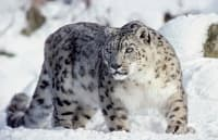 Снежният барс вече е уязвим вид, а не застрашен