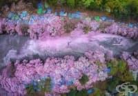 15 спиращи дъха снимки, които улавят красотата на вишневия цвят в целия свят
