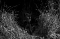 Черен леопард в Африка, заснет за първи път от 100 години насам
