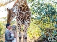 Неканен гост се появява на сватба. В действителност това било жираф