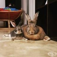 Заекът Ромео тежи 4 пъти по-малко от своята любима, но това не пречи на тяхната любов