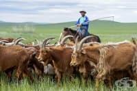 Как древните монголци побеждават лактозната непоносимост