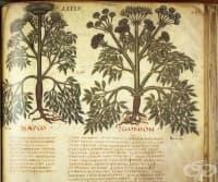 """Дакийски и тракийски лечебни растения, описани от Доискорид в """"De materia medica"""", 1 част"""