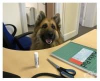 Ден на кучетата в офиса: как и защо да вземете любимеца си на работа