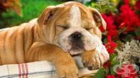 Каква е връзката между хъркането и здравословното състояние на вашето куче?