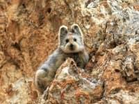 Заснеха рядък вид заек за първи път от 20 години