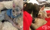 Жена осиновява еднооко коте сфинкс, което се влюбва в кучето й
