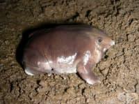 Нова пурпурна индийска жаба, намерена в отдалечени планини