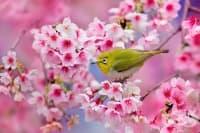 21 от най-красивите фотографии на цъфнали вишни в Япония през 2014 година