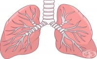 Изследователи успяха да трансплантират биоинженерни бели дробове