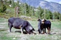 Констатираха случай на африканска чума по дивите свине в Добричко