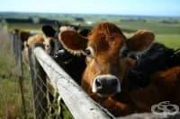 Обезщетяват с близо 200 000 лева стопаните на умъртвените заради заразен нодуларен дерматит животни